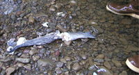 Picture of steelhead that died after spawning on LNF