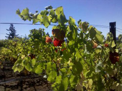Vineyard Production